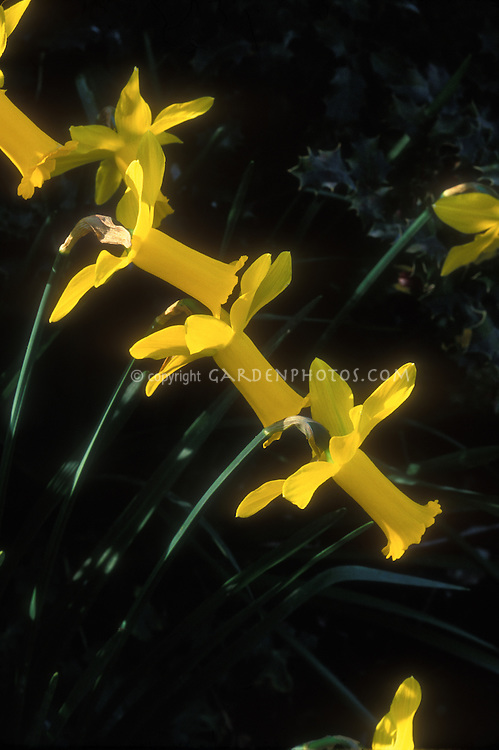 Narcissus Peeping Tom cyclamineus daffodils with long golden yellow trumpets. Division 6 hybrid spring flowering bulb. With sunlight streaming through reflexed petals
