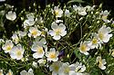 Rosa filipes 'Kiftsgate', mid June.