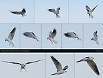 White-Tailed Kite Hovering Sequence, Sepulveda Wildlife Refuge, Southern California