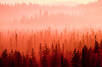 A coniferous forest in fog at sunrise / sunset near Prince George, British Columbia, Canada.