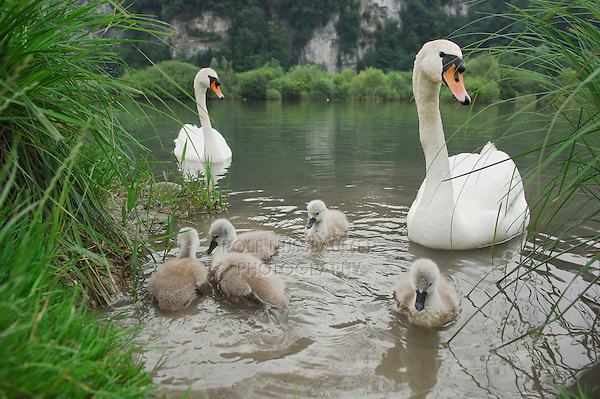 Mute Swan ( Cygnus olor), pair with young, Lake of Zug, Switzerland