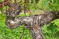 Old vine. Detail. Chateau de Haux, Bordeaux, France