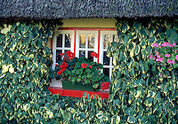 Detail view of the window and thatched roof of a typical Irish cottage, its walls covered with vines. The window has a window box with flowering red geraniums. Ireland.