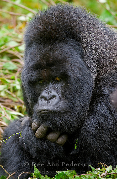 Munyinya, the Silverback of the HIrwa Mountain Gorilla Troop, contemplates if he will take a nap or look for the next tender bamboo shoot.