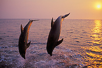 Common Bottlenose Dolphins or Bottle-nosed dolphins (Tursiops truncatus) off the west coast of Hondurus.  Sunset.