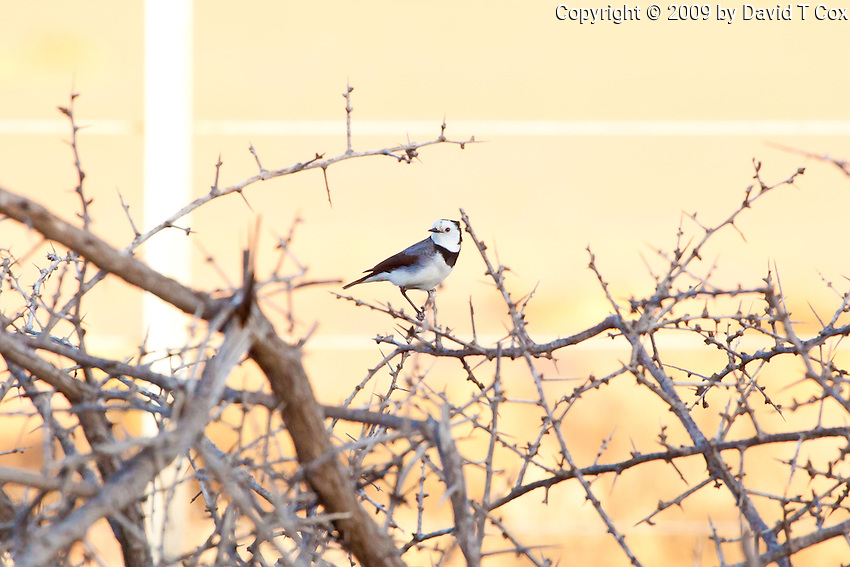 White-fronted Chat, west of Pt Augusta, SA, Australia