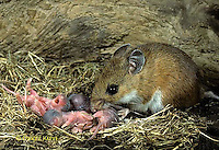 MU27-168z  White-footed Mouse mother with just born young - 1 day old - Peromyscus leucopus