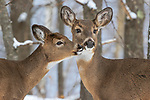 White-tailed doe with her fawn deep within the northern forest.