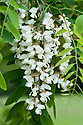 Flowers of Robinia pseudoacacia (Black locust tree), mid May.