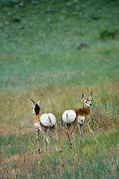 Two Pronghorn Antelope Fawns displaying white rumps (hairs standing up)--signal warning of possible danger.  Western U.S., June.