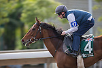 DEC 11,2015:  Cannock Chase ,trained by Michael Stoute,exercises in preparation for the Hong Kong Vase at Sha Tin in New Territories,Hong Kong. Kazushi Ishida/ESW/CSM