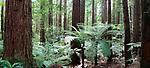 California Redwoods-Whakarewarewa Forest, Rotorua, New Zealand