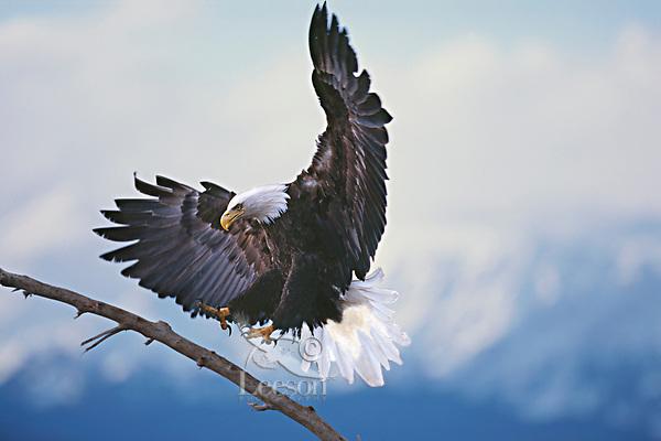Bald Eagle landing.