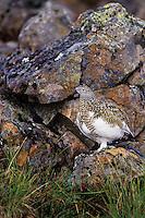 Rock Ptarmigan (Lagopus muta).  Alaskan tundra.