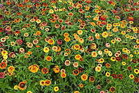 Zinnia Aztec Sunset mixture of colors in summer annual bloom