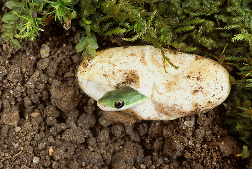 Baby Green snake emerges from its egg, Missouri