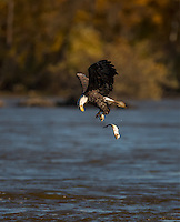 Adult Bald Eagle dropping a fish mid air into the water