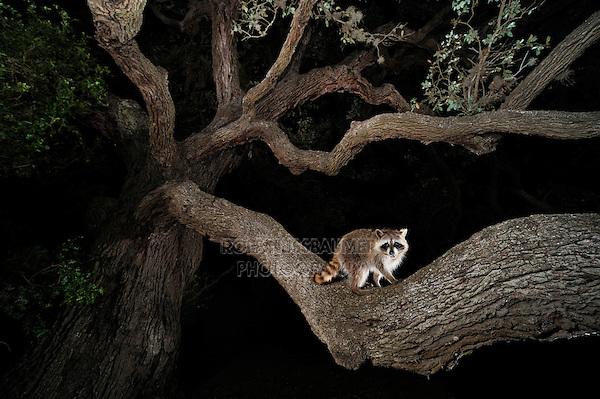 Northern Raccoon (Procyon lotor), young at night climbing Live Oak tree (Quercus virginiana), Dinero, Lake Corpus Christi, South Texas, USA