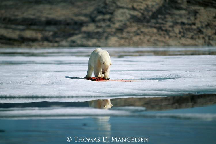 A polar bear eats a carcass on the ice.