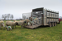 2-3-2021 Unloading ewes and lambs  out to grass<br />  ©Tim Scrivener Photographer 07850 303986<br />      ....Covering Agriculture In The UK....