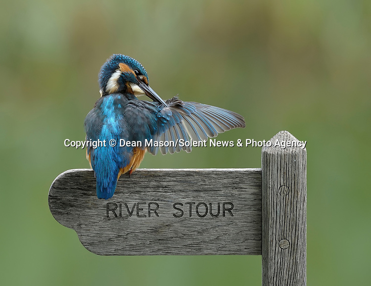 MAIN IMAGE:  A mischievous kingfisher points passersby in the wrong direction as they try to reach a river.  With its wing outstretched, the colourful bird appears to be misdirecting walkers as it preens itself on the top of a 'River Stour' sign.<br /> <br /> Another rebel kingfisher blatantly ignores the rules as it eats a bullhead fish whilst standing atop a 'No Fishing' sign.  Photographer Dean Mason pictured the cheeky kingfishers by the River Stour near Wimborne Minster, Dorset.  SEE OUR COPY FOR DETAILS.<br /> <br /> Please byline: Dean Mason/Solent News<br /> <br /> © Dean Mason/Solent News & Photo Agency<br /> UK +44 (0) 2380 458800