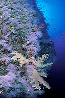 underwater seascape, soft coral, Dendronephthya sp., Fiji Islands, Pacific Ocean