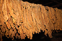 Cuba, Pinar del Rio Region, Viñales (Vinales) Area.  Tobacco Leaves Drying.