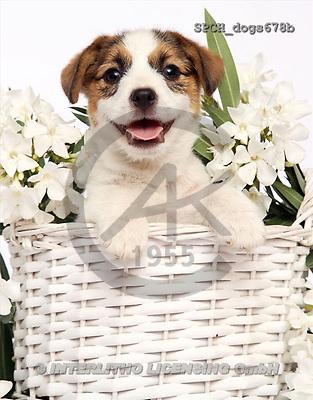 Xavier, ANIMALS, dogs, photos(SPCHdogs678b,#A#) Hunde, perros