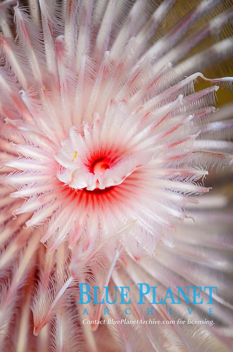 Magnificent tube worm, Protula magnifica, Anilao, Batangas, Philippines, Pacific Ocean
