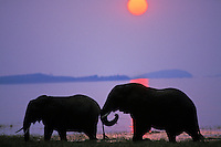 African Elephants (Loxodonta africana) feeding in Lake Kariba, Matusadona National Park, Zimbabwe.  Sunset.