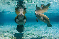 Florida manatee, Trichechus manatus latirostris, a subspecies of the West Indian manatee, Trichechus manatus, mother and calf, breathing, Three Sisters Springs, Crystal River, Florida, USA