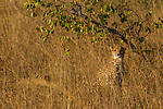 Cheetah (Acinonyx jubatus) twenty-one month old sub-adult male, Kafue National Park, Zambia
