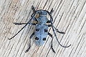 Longhorn Beetle {Morimus funereus} found on logpile in oak woodland where it lays its eggs. Slovenian karst, Slovenia, April.
