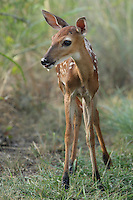 """Baby whitetail fawn with muddy """"socks""""."""