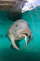 Florida Manatee, Trichechus manatus latirostris, A subspecies of the West Indian Manatee. A manatee enjoys chewing on the anchor rope of a pontoon boat in Hunter Springs. Crystal River, Florida.