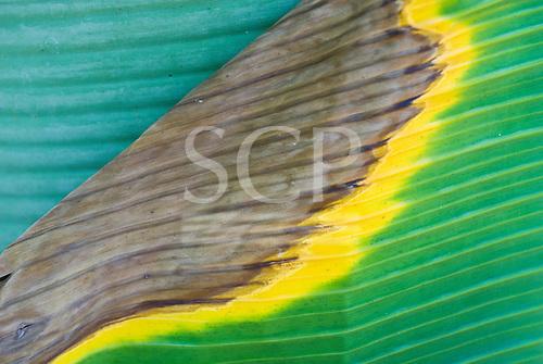 Mato Grosso State, Brazil. Aldeia Kenpo (Kayapo). Banana leaves in the colours of the Brazilian flag.