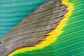 Mato Grosso State, Brazil. Aldeia Kenpo (Kayapo). Banana leaves in the colours of the Brazilian flag.