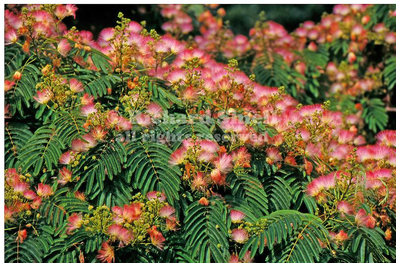 12429-CA Mimosa or Silk Tree, Albizia julibrissin, flowering branches, at Arboretum of California State University, Fullerton, USA.