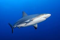 Gray reef shark, Carcharhinus perezii, swimming in open water, Little Bahama Bank, Bahama Islands, Bahamas, Caribbean, Atlantic