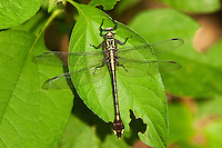 333930009 a wild male cobra clubtail dragonfly gomphus vastus perches on a leaf at hornsby bend travis county texas