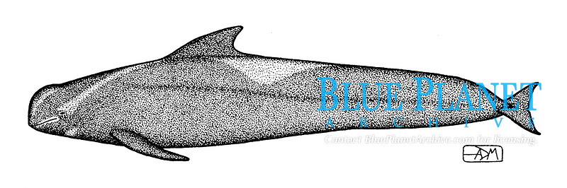 Short-finned pilot whale, Globicephala macrorhynchus, lateral view, pen and ink illustration.