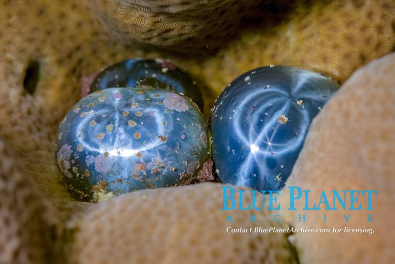 bubble algae or sailor's eyeballs, Valonia ventricosa, a single-celled organism, green algae