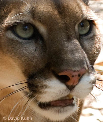 0525-1105  Costa Rican Cougar (Puma), Belize, Puma concolor costaricensis  © David Kuhn/Dwight Kuhn Photography