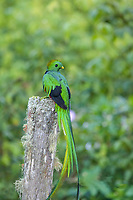 resplendent quetzal, Pharomachrus mocinno, male, the sacred bird of the Mayans and Aztecs in Mesoamerica, San Gerardo de Dota,  San Jose, Costa Rica , Central America