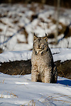Canada lynx (Lynx canadensis) sitting in the snow