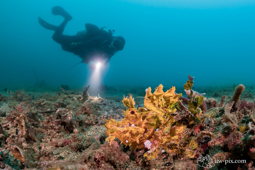 Yellow Rhinopias frondosa and diver in the Lembeh Strait / Sulawesi / Indonesia