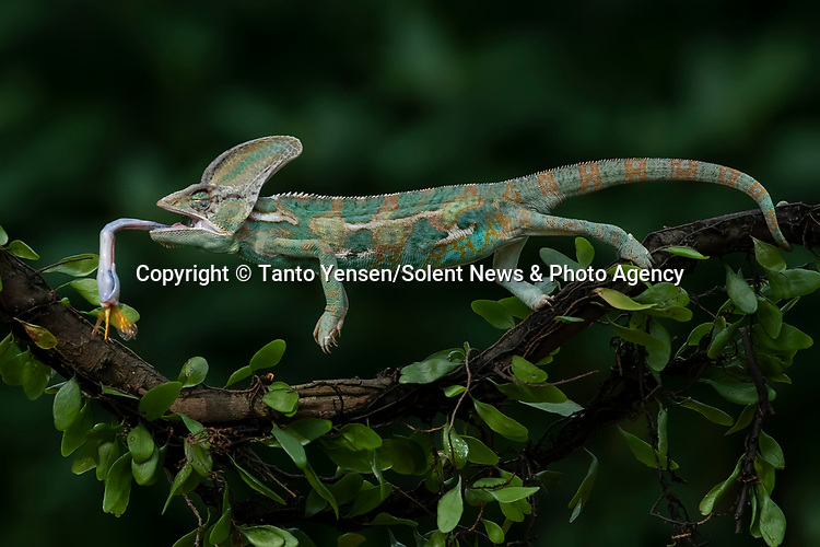 SEQUENCE 5 OF 9:  A chameleon balances on a thin branch as it catches a dragonfly with its long and sticky tongue.  The brightly patterned reptile leans forward to strike at the small orange insect.<br /> <br /> The images were captured by professional photographer Tanto Yensen, in Jakarta, Indonesia.   SEE OUR COPY FOR DETAILS<br /> <br /> Please byline: Tanto Yensen/Solent News<br /> <br /> © Tanto Yensen/Solent News & Photo Agency<br /> UK +44 (0) 2380 458800
