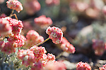 The flowers of the Cushion Buckwheat plant begin to turn pink after the peak of their blooming season