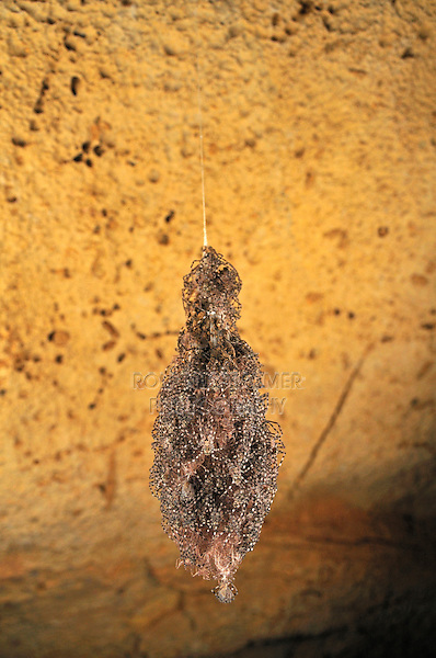 .A nest of young spiders in Ankarana Cave, Ankarana National Park, Nosy Be, Madagascar.