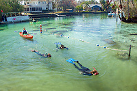 Florida Manatee, Trichechus manatus latirostris, A subspecies of the West Indian Manatee. Snorkelers and kayakers frequent the Three Sisters Springs sanctuary to get the opportunity to view and interact with manatees in their natural environment. Crystal River, Florida. No MR